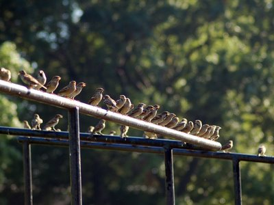 A large group of sparrows gathers at Brooklyn's Green-Wood Cemetery