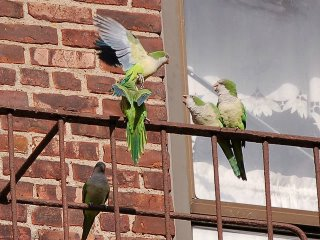 Monk parrots arguing or joking on fire escape, Brooklyn, NY
