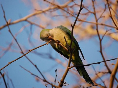 A Bay Ridge parrot is nearly complete with his twig severing job