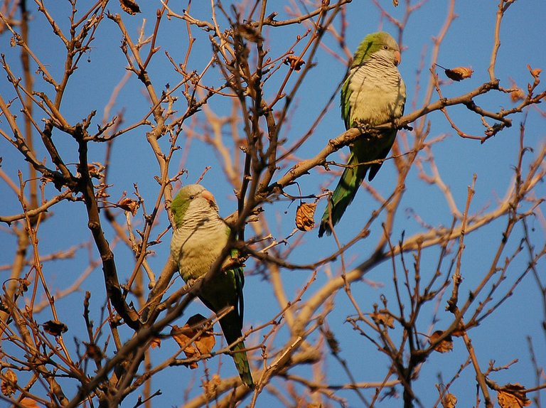 Two wild quaker parrots climb on a tree