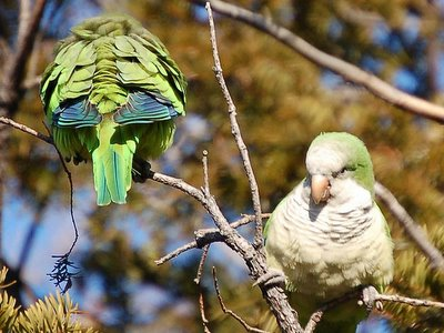 Two wild parrots watching each other's backs on Brooklyn's Avenue I