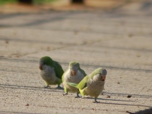 3-parrots-on-pavement