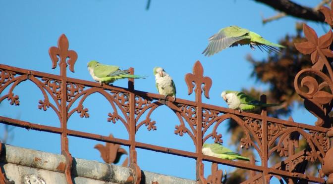 Next Wild Parrot Safari in Brooklyn: Saturday, July 11, 2015