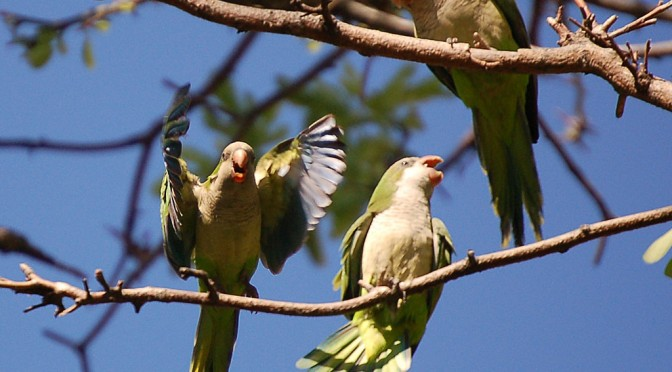 The complex social world of Monk Parakeets