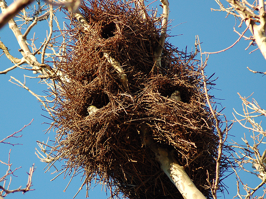 big_tree_nest