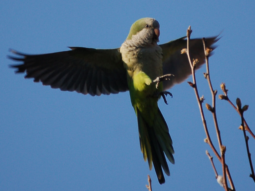 Quaker parrot flying