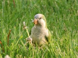 chicago-parrots-0-hw-park
