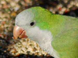close-up-parrot-on-pavement