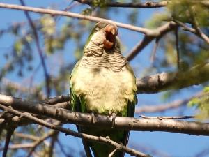 greenwood-parrots22