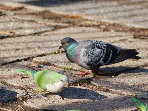 parrot-and-pigeon