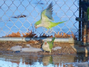 parrots-farewell-to-snow5-755809