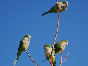 parrots_in_tree2-764456