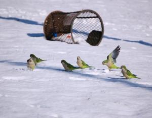 parrots_snow_bx