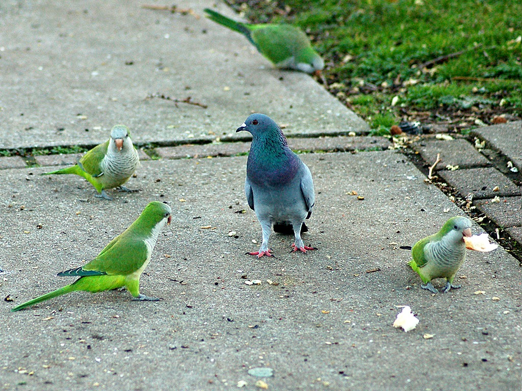 parrots_with_pigeon2-corrected