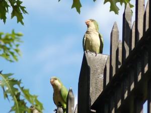 midwood_parrots_sentinel_pl