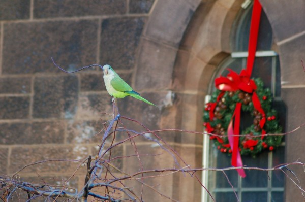 A Christmas Parrot at Green-Wood Cemetery, Brooklyn, NY
