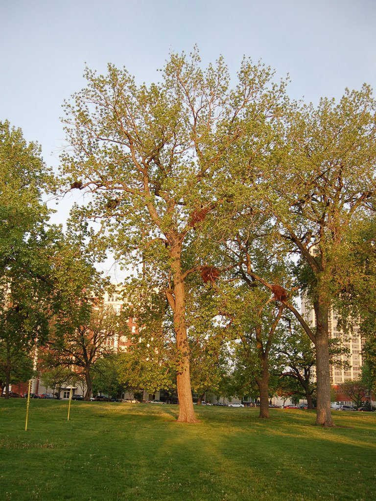 chicago-parrots-3-trees-718380