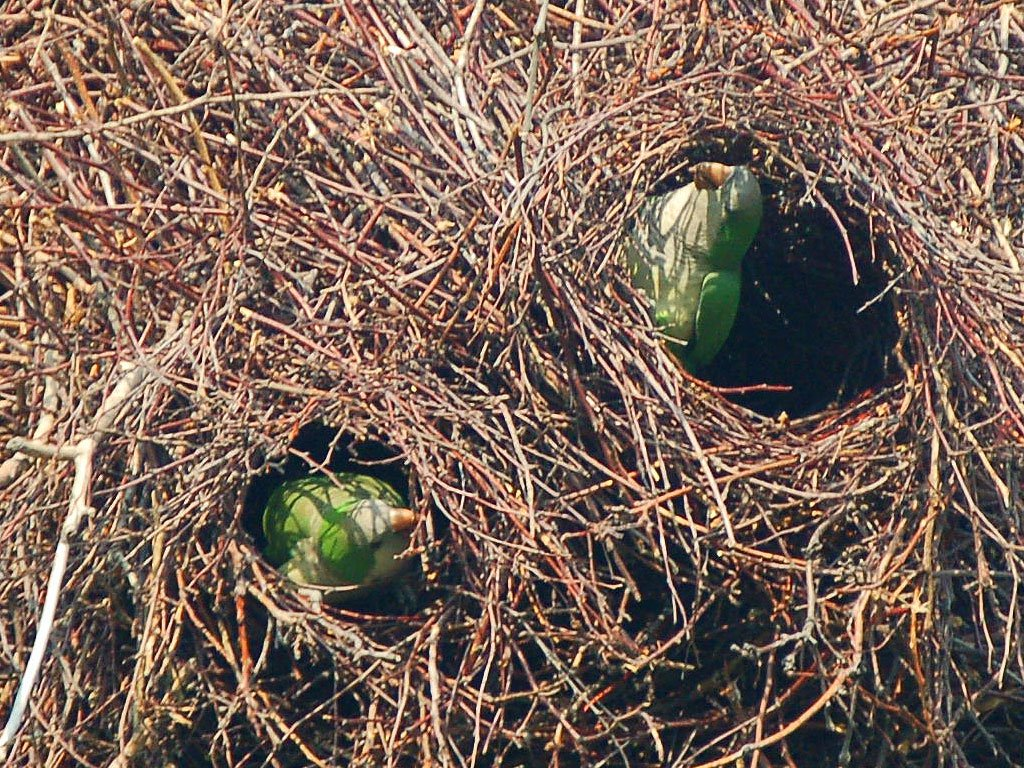 chicago-parrots-nest-buildi-785907