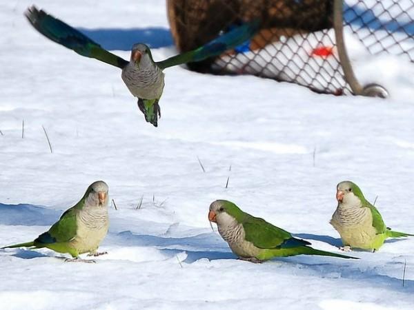 snow_parrots2-754632 (1)