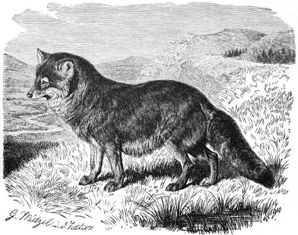 760px-Prairiewolf-drawing