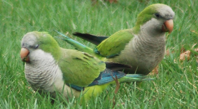Happy St. Patrick's Day from the parrots of Brooklyn