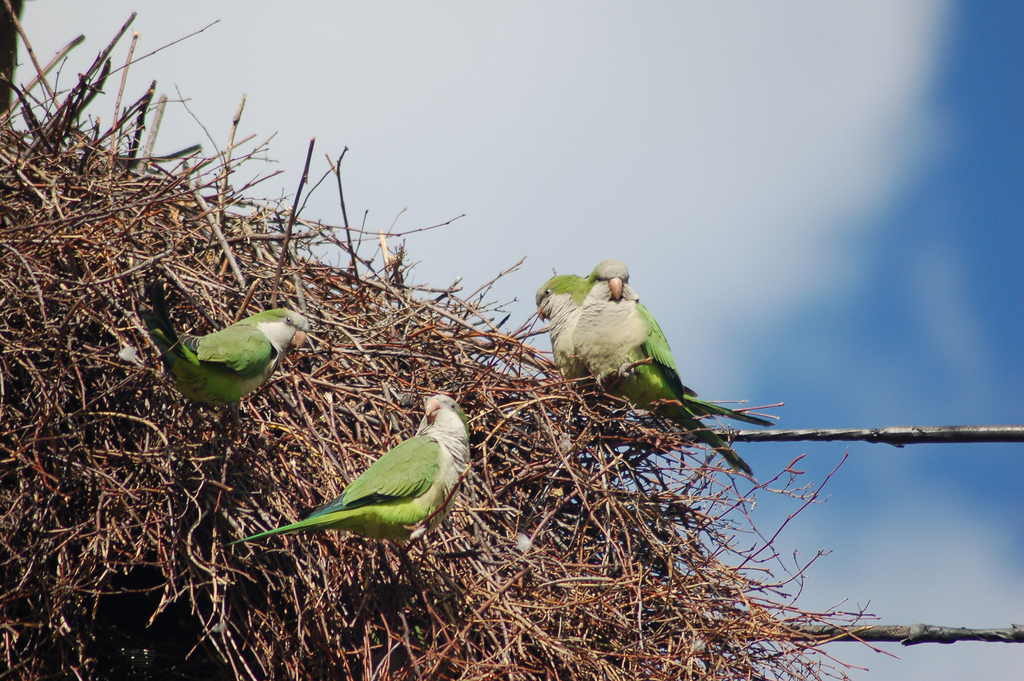 Two Large wild parrot nests demolished on Staten Island
