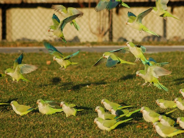 Wild Quaker Parrots in New York area, photo by Stephen C. Baldwin
