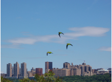 Wild Parrots in Manhattan…