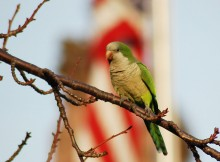 Happy July 4th from the Brooklyn Parrots