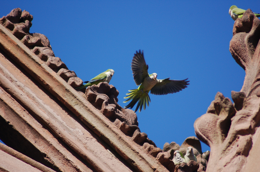 photo essay wild parrots of brooklyn