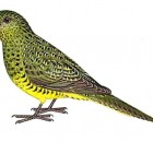 The Night Parrot, By Martin ThompsonFlyingidiot at en.wikipedia [Public domain], from Wikimedia Commons