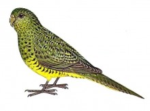 Super-rare Night Parrot grabbed, tagged, and released in Australia