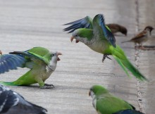 Why exactly do Monk Parakeets fight?