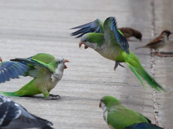 monk-parakeet-aggression
