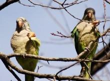 Pizza parrots!