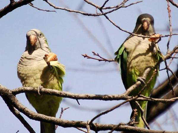 pizza-parrots-duet