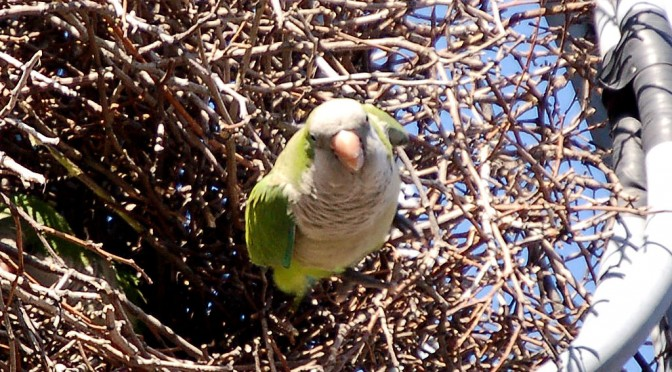 Next wild parrot safari: June 3, 2017