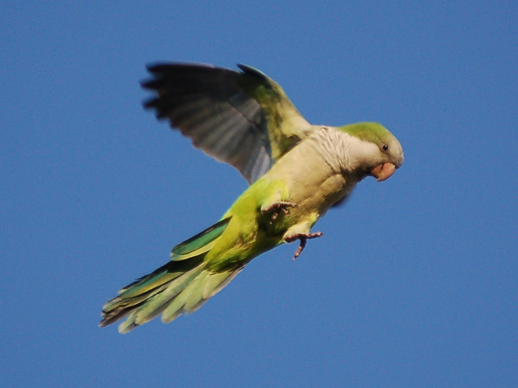 Animated about the Brooklyn Parrots…