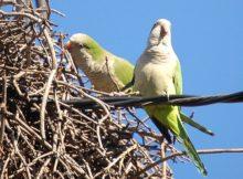 Monk parakeets in Israel!