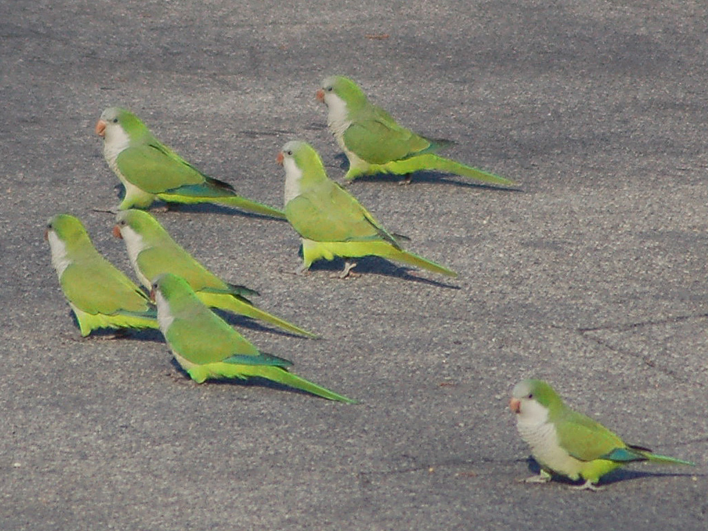 Brooklyn Parrots on (and in) the air!
